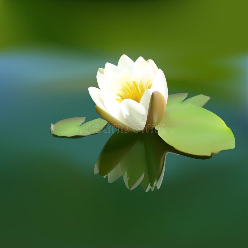 Branco waterlily
