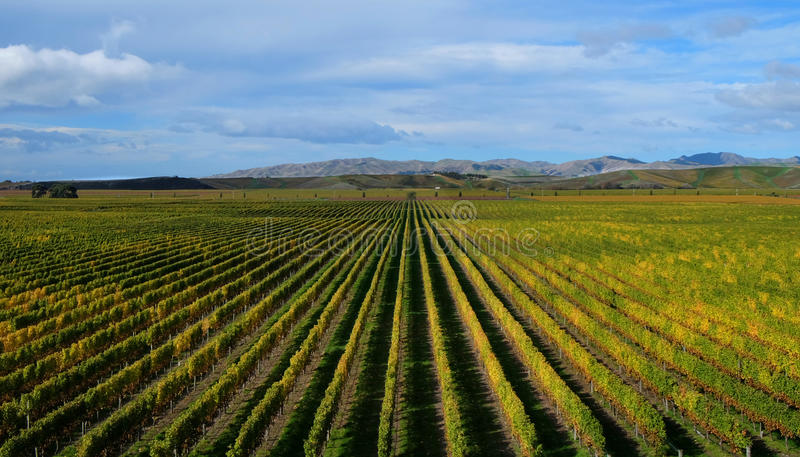 Brancott-Weinberg im blenheim, Neuseeland stockfotografie