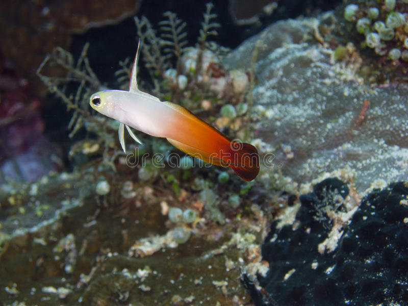 Brand dartfish royalty-vrije stock afbeelding