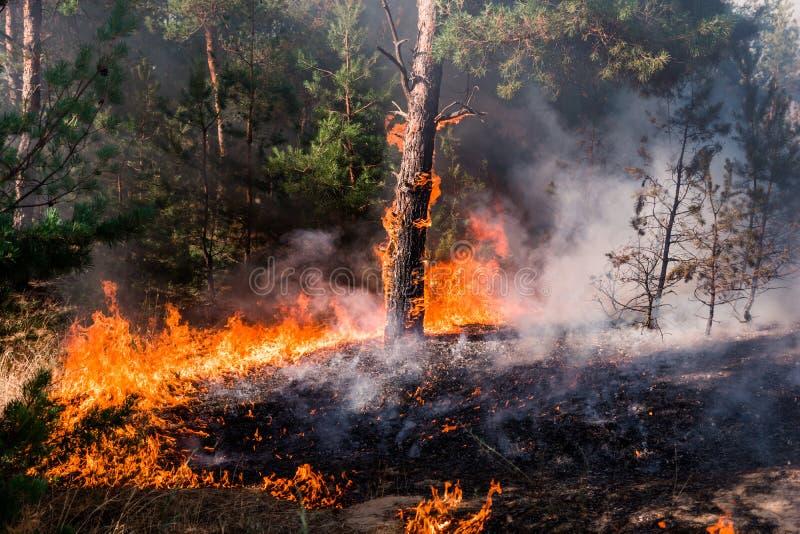 Brand wildfire bij zonsondergang, brandend pijnboombos in de rook en vlammen royalty-vrije stock afbeeldingen