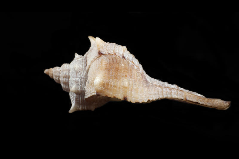 Brandaris de Bolinus (Linneo 1758) photos libres de droits