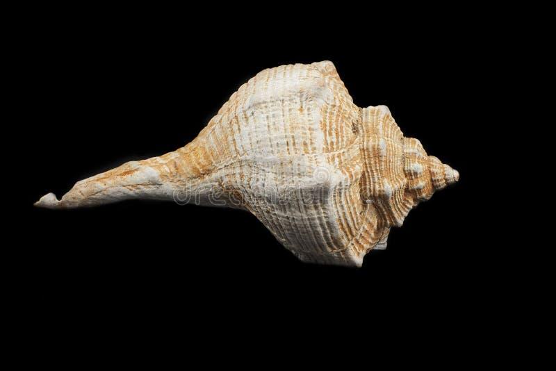 Brandaris de Bolinus (Linneo 1758) photos stock