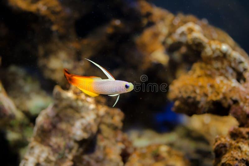 Brandgoby vissen in aquarium stock foto