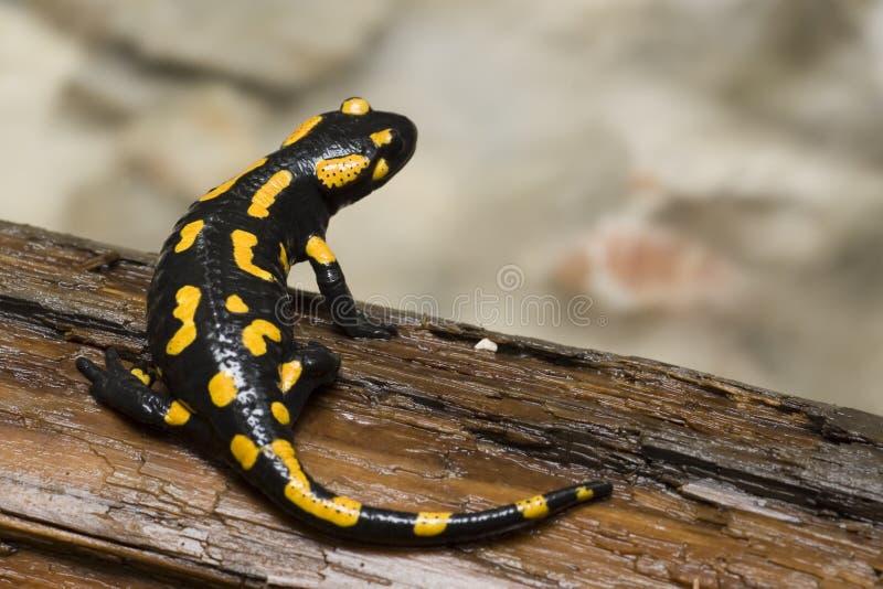 brandsalamander royaltyfri foto