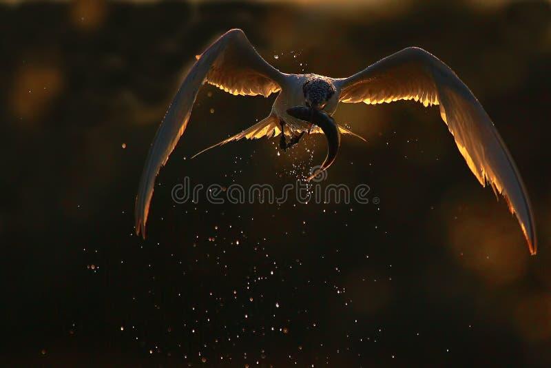 Brandseeschwalbe (Thalasseus-sandvicensis). stockbild