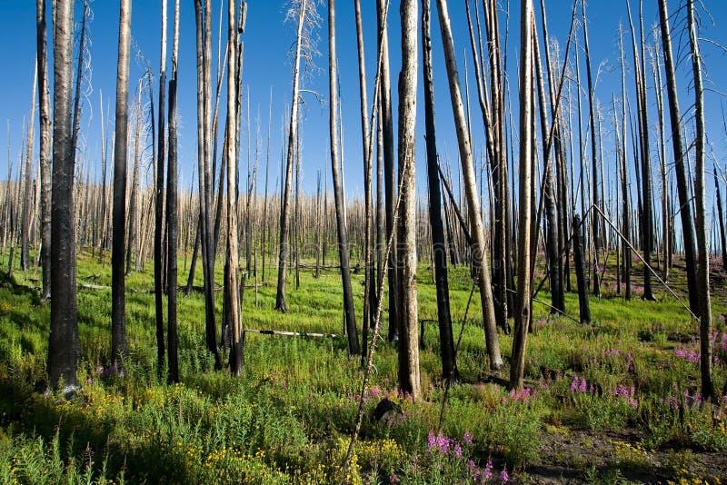 Download Brandskogpånyttfödelse arkivfoto. Bild av yellowstone, förstörelse - 982550