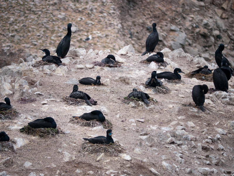Brandt kormoranów gniazdować obraz royalty free