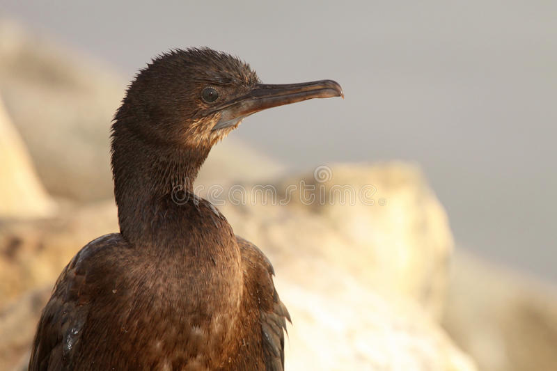 Brandt kormoran Wzdłuż oceanu obraz royalty free