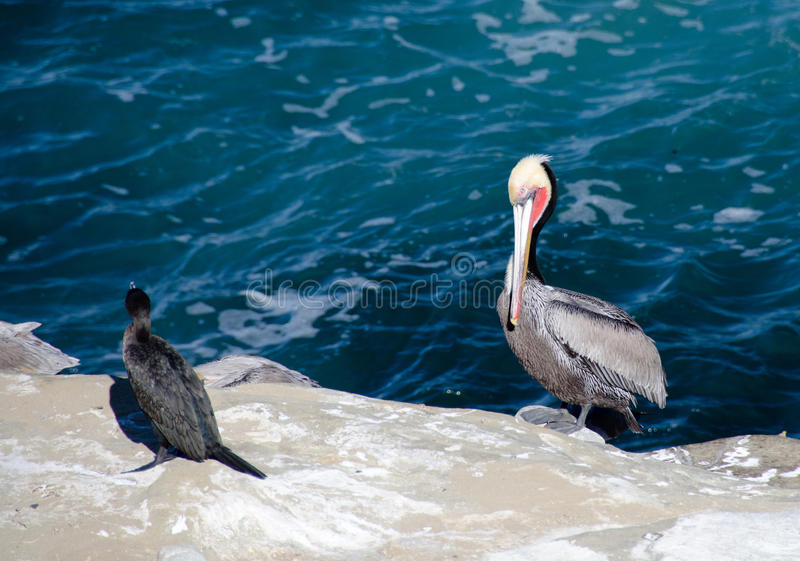 Brandt kormoranu kipieli pobliska linia fotografia stock