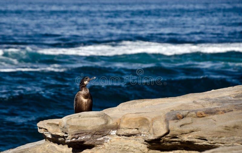 Brandt kormoranu zegarków ludzie blisko punktu losu angeles Jolla fotografia stock