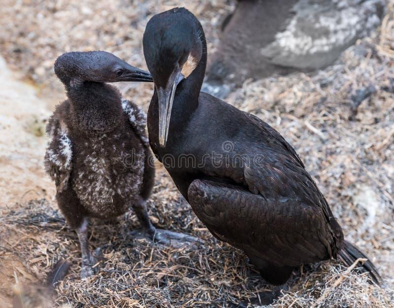 Brandt ` s kormoranu ptaków dorosły i młody ptak obraz royalty free