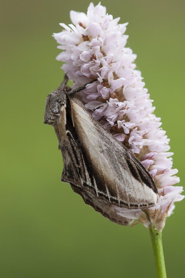 Brandvlerkvlinder, sorso prominente, tremula di Pheosia immagine stock