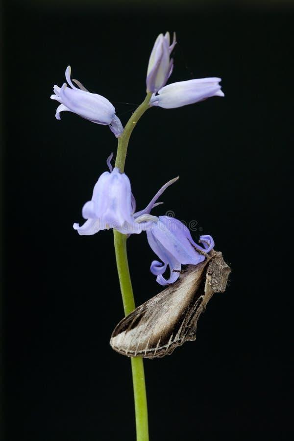 Brandvlerkvlinder, trago prominente, tremula de Pheosia imagen de archivo