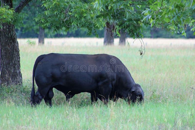 Brangus公牛吃草安格斯的婆罗门 库存图片