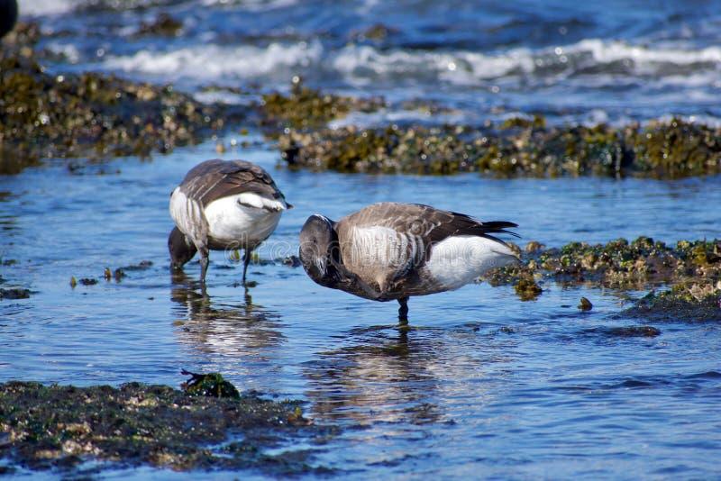 Brant η χήνα γρατσουνίζει το πρόσωπό της στεμένος στα shallows του Juan de Fuca Strait στοκ εικόνα με δικαίωμα ελεύθερης χρήσης