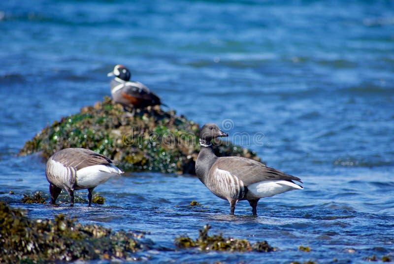 Brant χήνες που ταΐζουν στην άκρη ωκεανών με την πάπια harlequin στο υπόβαθρο στοκ εικόνες με δικαίωμα ελεύθερης χρήσης