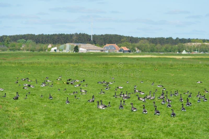 Brant gooses στο ολλανδικό wadden νησί στοκ φωτογραφίες με δικαίωμα ελεύθερης χρήσης