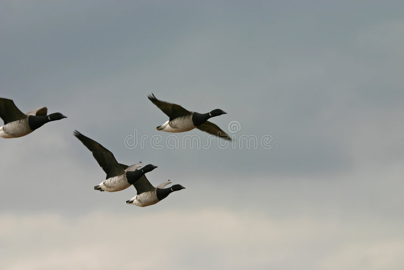 brant latające gęsi fotografia stock