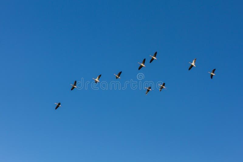 Brants που πετά σε έναν μπλε ουρανό κρυστάλλου στοκ εικόνες