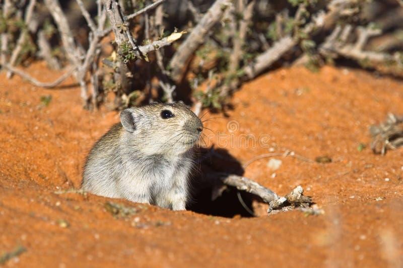 Brants pfeifende Ratte außerhalb seines Baus lizenzfreies stockbild