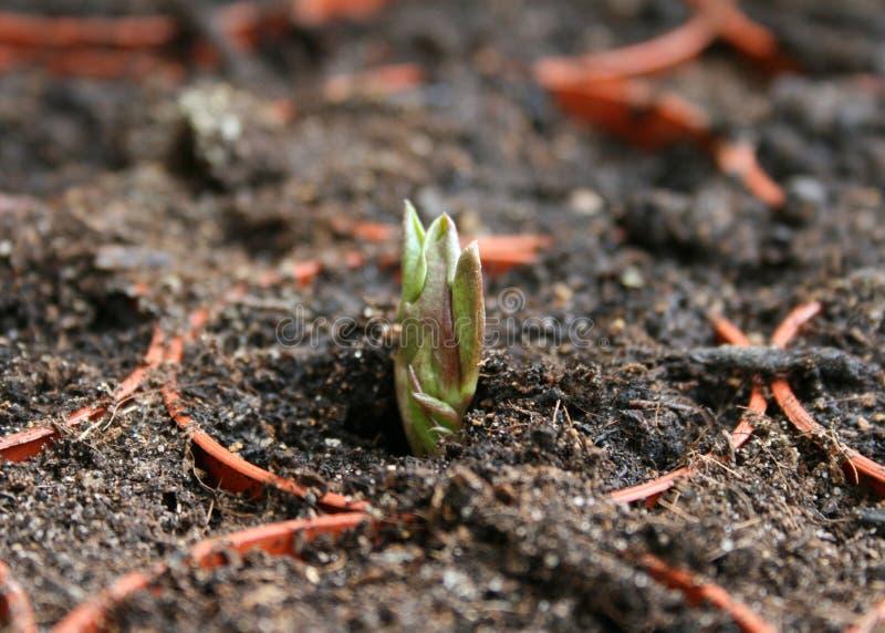 Braod Bean Seedling lizenzfreies stockbild