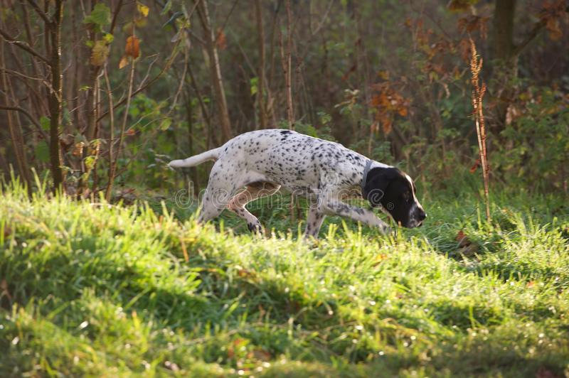 Braque d'Auvergne Hunting dog in action. Hound tracking trail for stock images