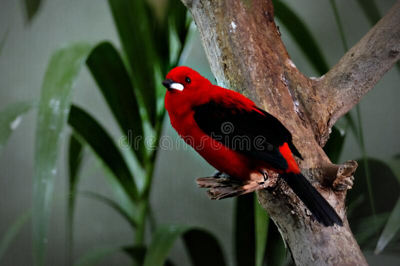 Brasilian Tanager perched on a tree royalty free stock photos