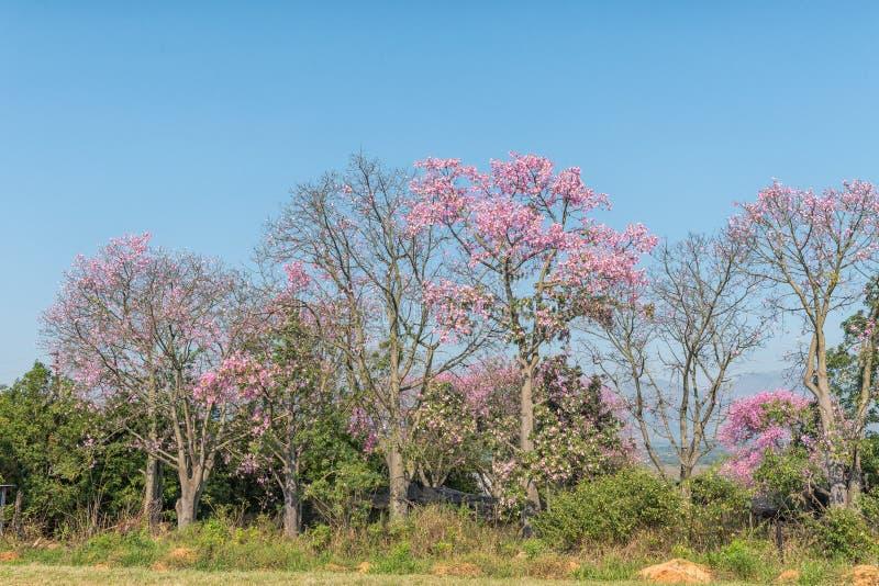 Brasilianische Glasschlackenseidenbäume oder Kapokbäume, Ceiba speciosa, blühend stockfotografie