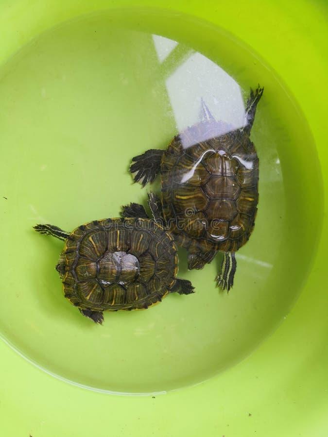 Brasilianische Schildkröte merkwürdigen Schlafens lizenzfreie stockbilder