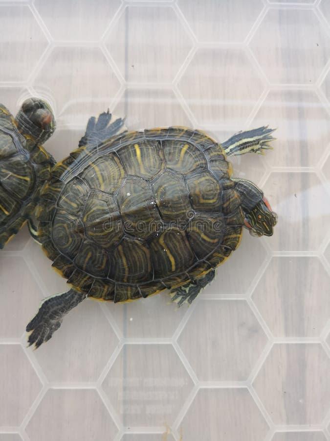 Brasilianische Schildkröte merkwürdigen Schlafens lizenzfreie stockfotos