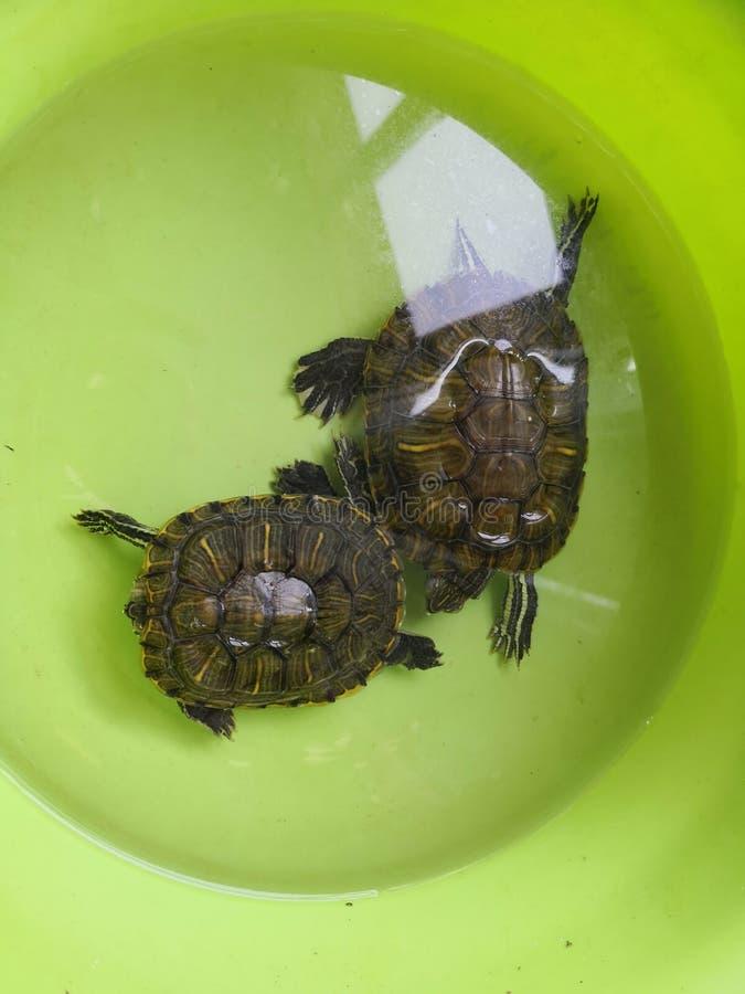 Brasilianische Schildkröte merkwürdigen Schlafens lizenzfreies stockbild