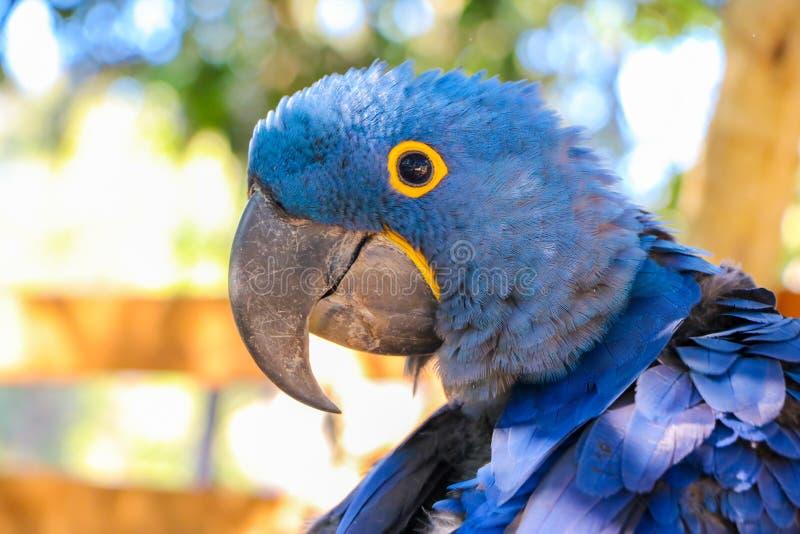Brasilianischer Macaw stockfotos