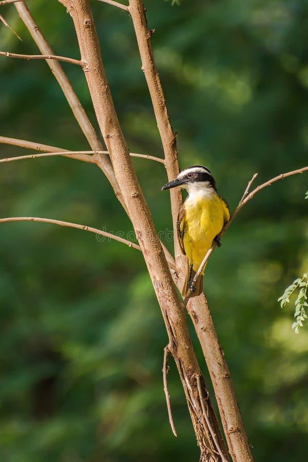 Brasilianischer Vogel lizenzfreies stockbild