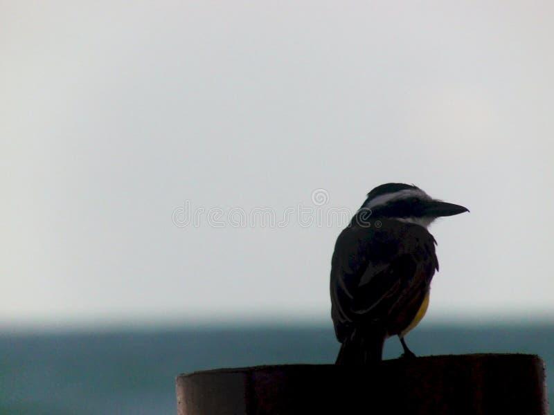 Brasilianischer Vogel, der auf einem Zaun stillsteht lizenzfreie stockfotografie