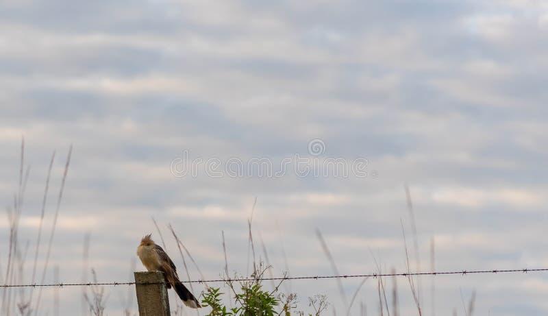 Brasilianischer Vogel, der ungefähr auf Drähten sitzt lizenzfreies stockbild