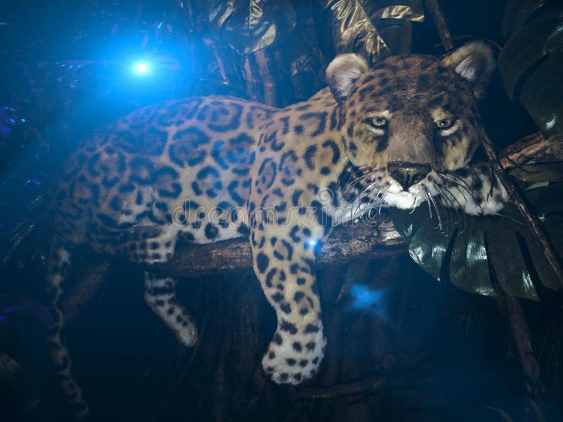 Brasilianisches Jaguarporträt stockbilder