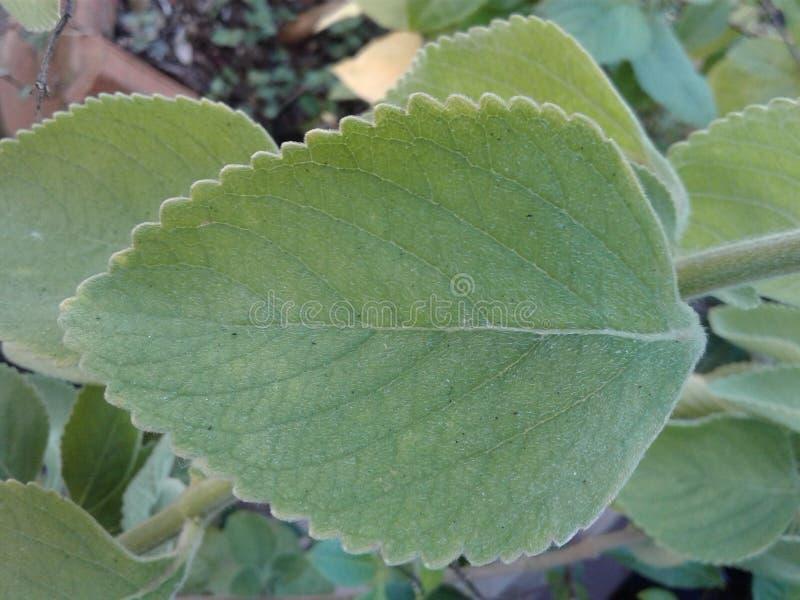 Brasiliano Boldo Boldo una pianta medicinale fotografie stock