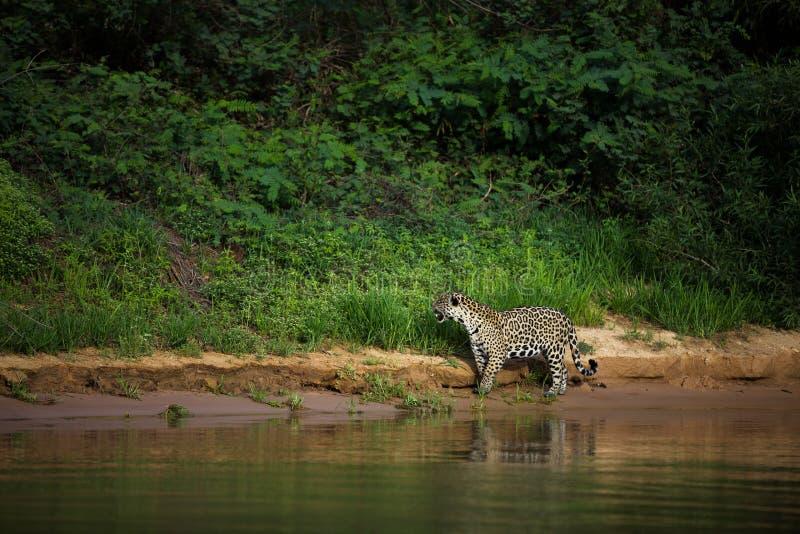 Brasiliano Pantanal - Jaguar fotografia stock libera da diritti