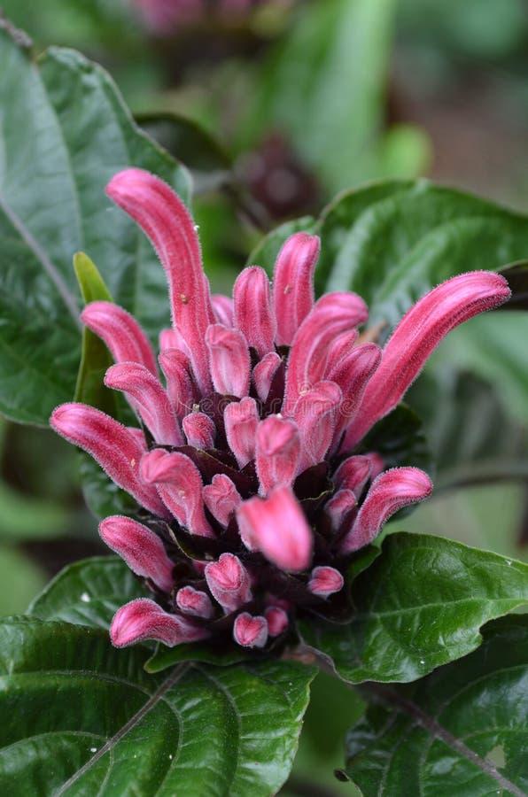 Brasiliano Plume Flower immagini stock