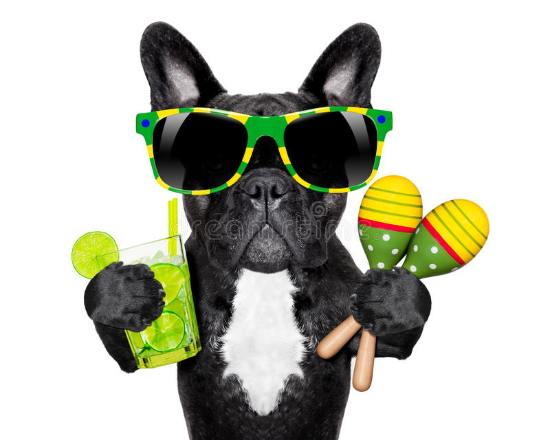 Brasiliansk fransk bulldogg royaltyfri bild