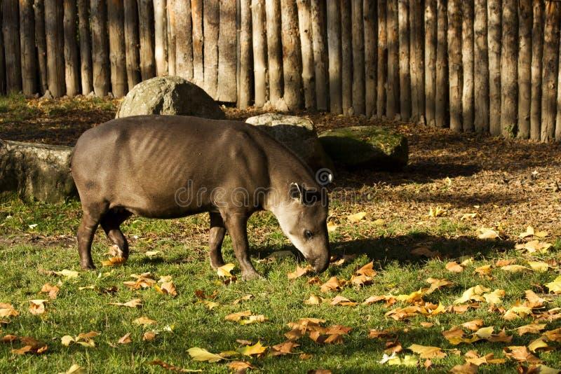 Brasiliansk tapir på grönt gräs royaltyfri bild