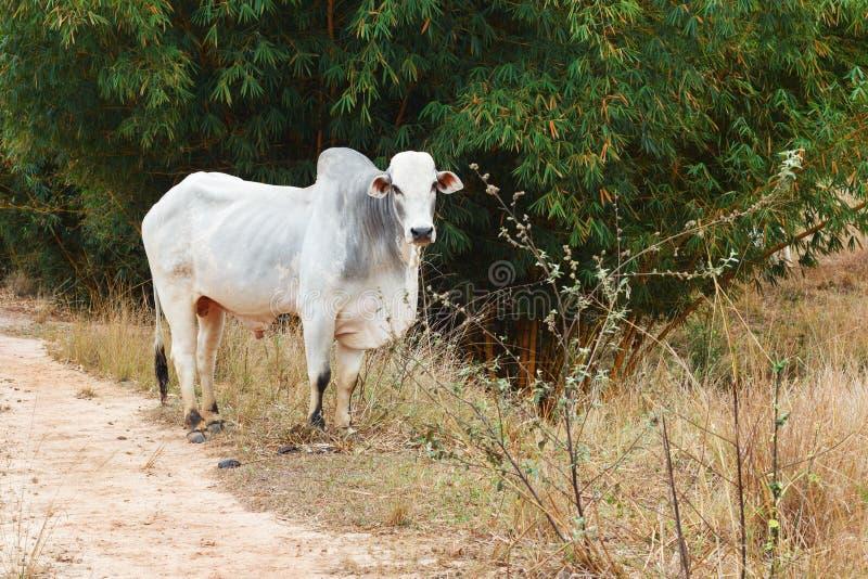 Brasiliansk tjur för nötköttnötkreatur - nellore, vit ko royaltyfri foto
