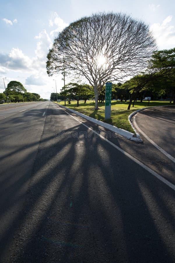 Brasilias träd fotografering för bildbyråer