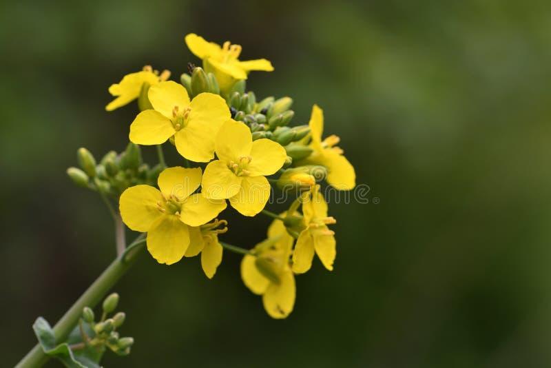 Brassica napus della colza fotografia stock libera da diritti