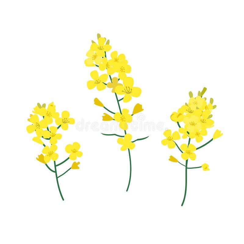 Brassica napus, seme di ravizzone, colza, seme oleaginoso, illustrazione di vettore del canola Il concetto di olio di colza o di  royalty illustrazione gratis