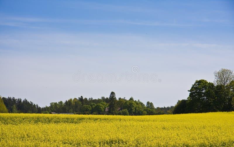 Brassica napusGebied stock afbeelding