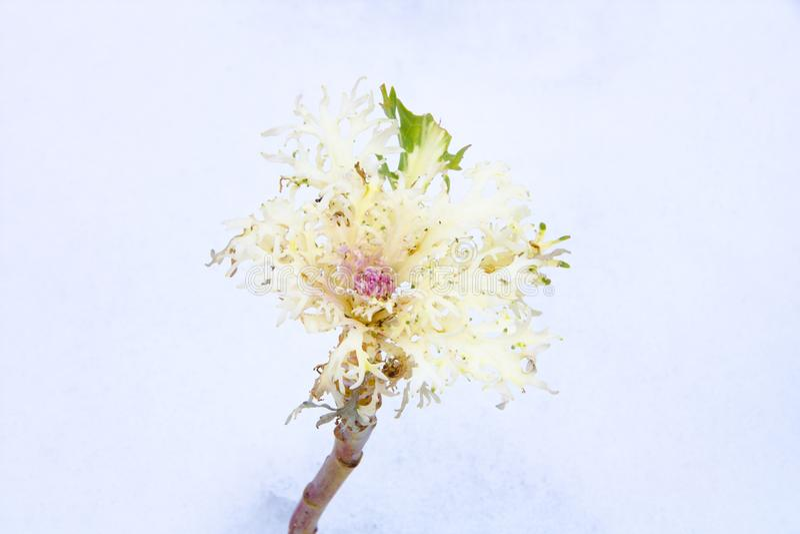 Brassica Oleracea obrazy royalty free