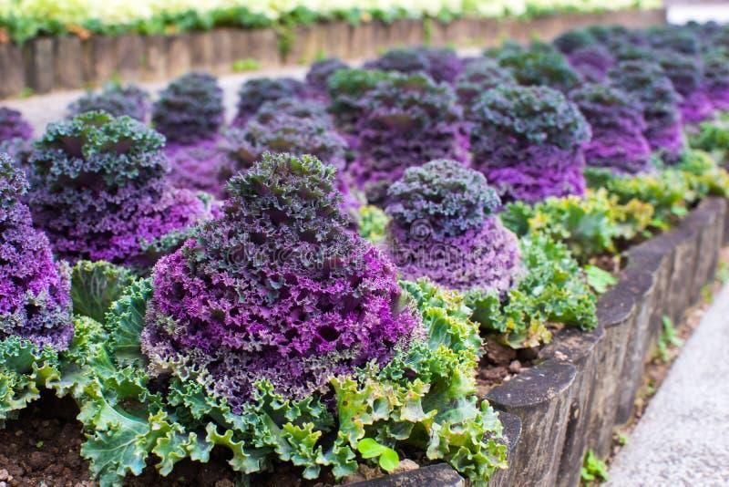 Brassica oleracea, a beautiful vegatable stock image