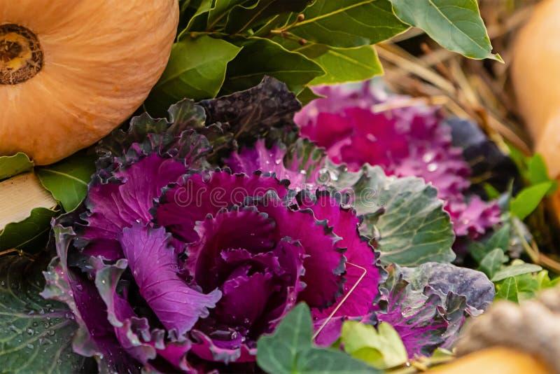 Brassica oleracea dekoracyjna jasna roślina kwiatowa jesienią świeża flora ajone pozostawia dynię obraz royalty free