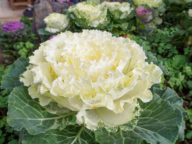 Brassica Oleracea Ornamental Cabbage stock photography